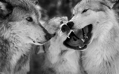 Wolves Background Wolf Backgrounds Wallpapers Psd