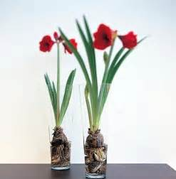 what s the secret to sprouting amaryllis bulbs the