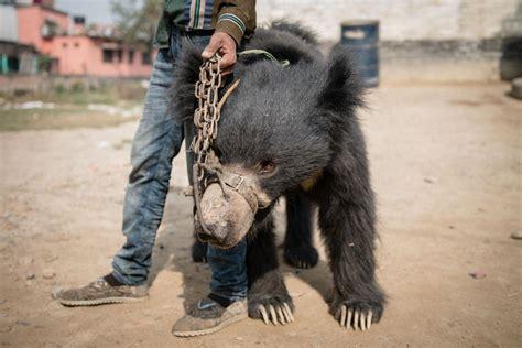 bears dancing bear nepal last