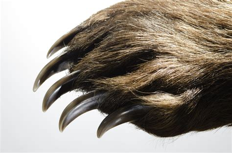 Grizzly Bear Claws