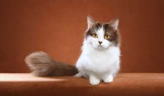 munchkin cat breeders munchkin cat breed information