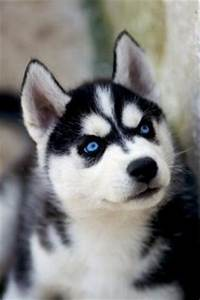 Cute Husky Puppies With Blue Eyes iPhone Wallpaper HD ...