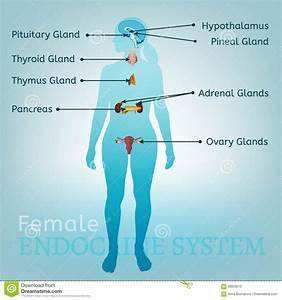 Endocrine System Woman Stock Vector  Illustration Of Hormone