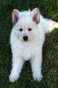Baby White German Shepherd Puppies