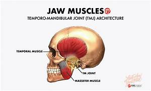 Anatomy Of Jaw Muscles