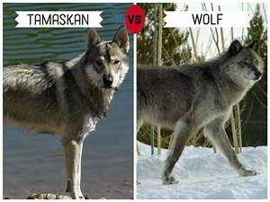 11 Dogs That Look Like Wolves | PetHelpful