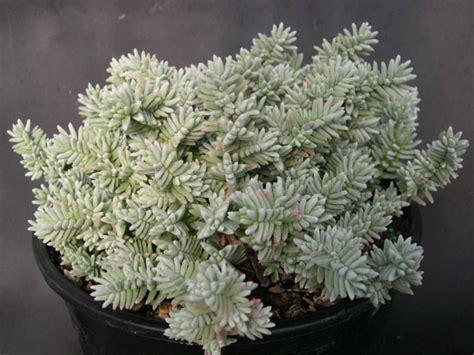 sedum succulent sedum booleanum world of succulents