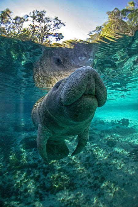 Manatee Photo By Tobias Frei National Geographic Your
