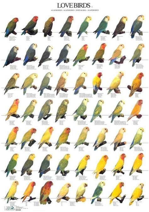 Love Bird Color Mutations