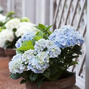 Hortensie Im Topf : blaue hortensie im topf stockbild bild von muster footpath 59689045 ~ A.2002-acura-tl-radio.info Haus und Dekorationen