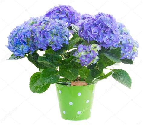 fleurs bleu hortensia en pot vert photographie neirfys 169 44210403