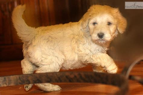 Shed Free Dogs by Aussiedoodle Puppy For Sale Near Richmond Virginia