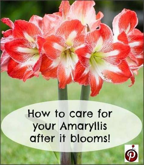 amaryllis plant care top 28 caring for amaryllis amaryllis 101 caring for amaryllis plants and making your