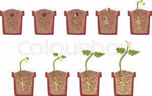 Plant Seed Growth  Development And