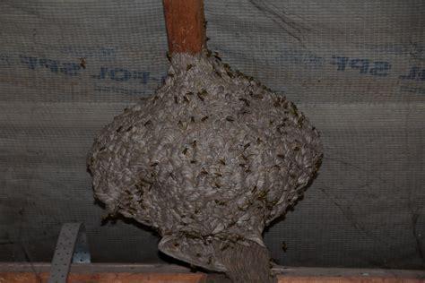 können wespen unterm dach schaden anrichten wespen unterm dach wespen unterm dach bek mpfen so geht s wespennest unter dem dach umsiedlung