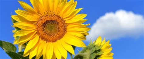 mit der sonnenblume die sonne in den garten holen