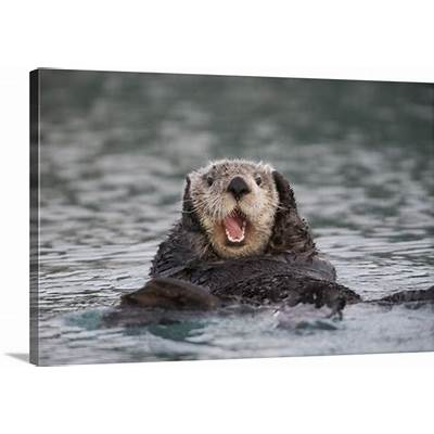 Close up of a Sea Otter swimming on back in Prince William