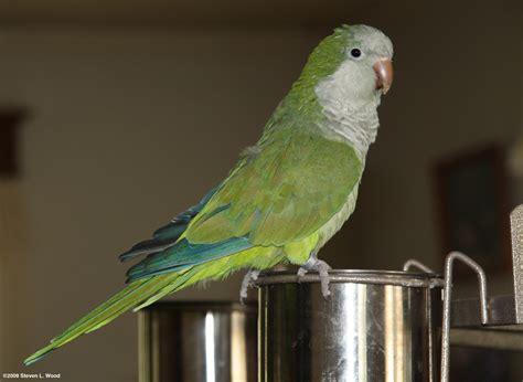 quaker bird quaker parrot simon pics4learning