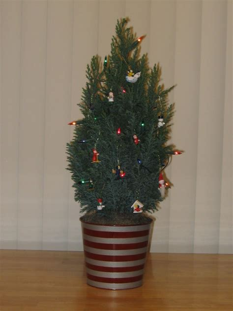european cypress christmas tree 408 best blogs giveaways images on giveaways products and tents