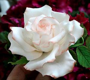 Rose De Noel Synonyme : roses blanche ~ Medecine-chirurgie-esthetiques.com Avis de Voitures
