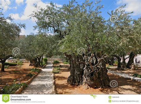 jardin des oliviers de gethsemane thousand year photos