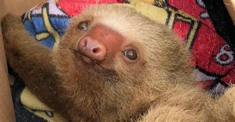 Baby Sloth Found Clinging For Life On Sandy Beach