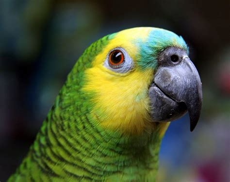 blue fronted birds of the world parrots and their allies