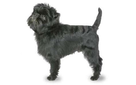 do mini pinschers shed a lot small dogs who shed the least dogtime