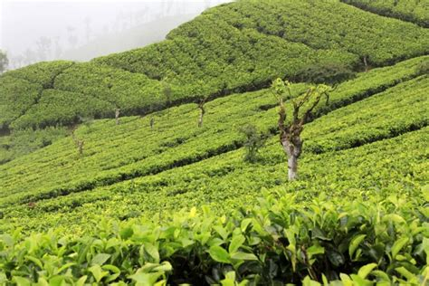 Tea Beginnings in Sri Lanka