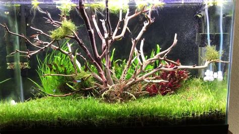Aquascape Tree by Tree Aquascape Using Manzanita Driftwood Tank Come