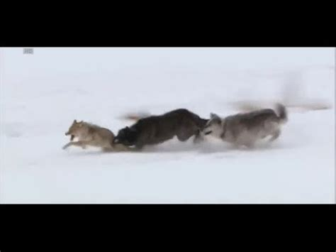 wolves  coyote hd youtube