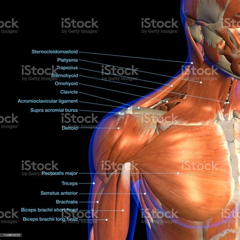 The muscles in the shoulder aid in a wide range of movement and help protect and maintain the main shoulder this diagram with labels depicts and explains the details of shoulder muscles pictures. Labeled Anatomy Chart Of Neck And Shoulder Muscles On Black Background Stock Photo - Download ...