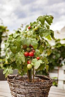 pomodoro in vaso coltivare ortaggi in vaso consigli utili orto da coltivare
