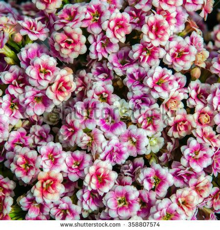 kalanchoe scientific name 28 best kalanchoe scientific name kalanchoe daigremontiana mother of thousands alligator