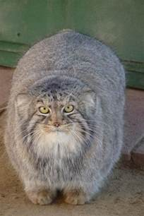pallas cat pallas s cat is the most amazing animal you ve never heard of