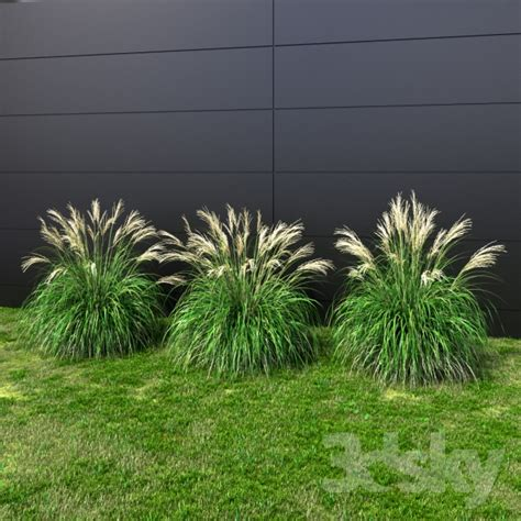 small decorative grasses 3d models plant ornamental grass miscanthus small