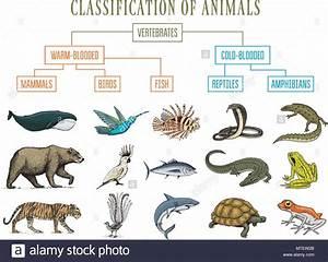 Classification Of Animals  Reptiles Amphibians Mammals