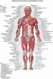 DIY frame Muscular System Front labels for study posters ...