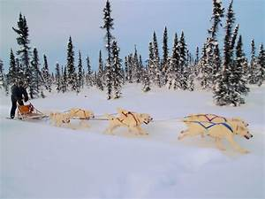 File:White huskies dog sledding.jpg - Wikimedia Commons