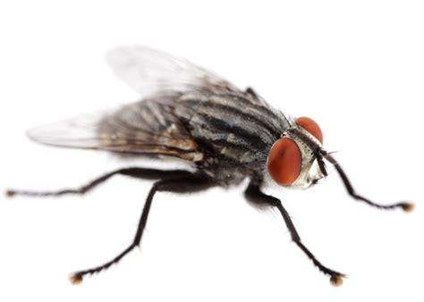 Generic Information About Flies  Rescue! Pest Control