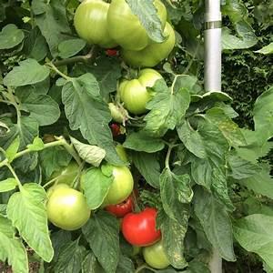 Zimmerpflanzen Alte Sorten : ice hellrote tomate fleischtomate hoher ertrag auch im ~ Michelbontemps.com Haus und Dekorationen
