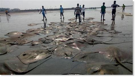 dead fish marine animals wash    west coast