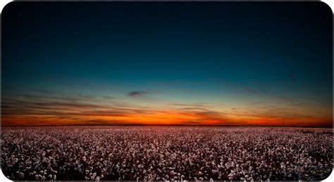 sunset  cotton field vernon texas hometown