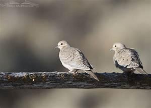 Juvenile Mourning Dove in Morning Light in Southwestern ...