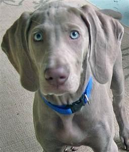 Weimaraner Puppy Blue Eyes | www.pixshark.com - Images ...