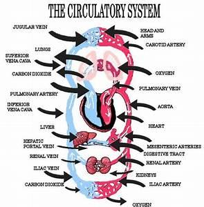 Human Circulatory System Heart