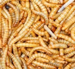 Maden In Kirschen : maden news ~ Lizthompson.info Haus und Dekorationen
