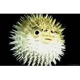 Puffer Fish | Animal Wildlife