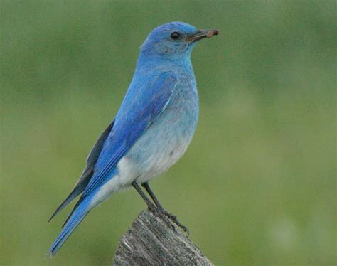 blue birds birds of madison county mountain bluebirds of madison county