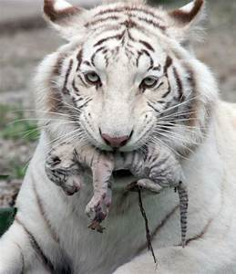pictures of baby tigers | White tiger holding baby tiger ...